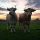 Onze koeien! ::